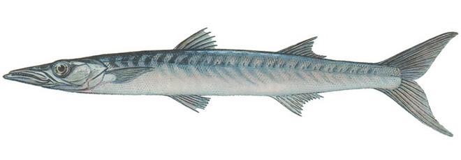 Изображение рыбы Барракуда европейская