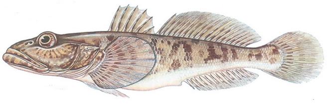 Изображение рыбы Бычок-кнут