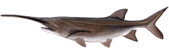 Изображение рыбы Веслонос