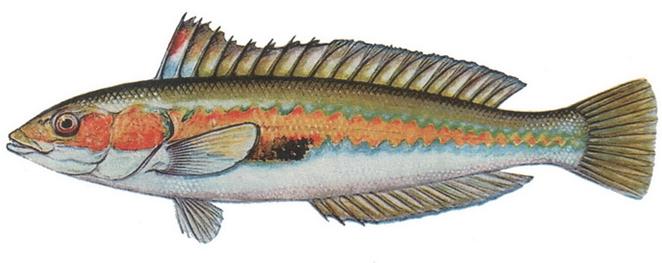 Изображение рыбы Морской юнкер