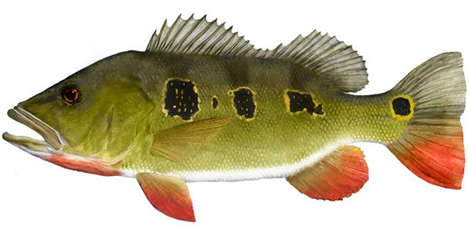 Изображение рыбы Павлиний окунь-бабочка