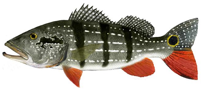 Изображение рыбы павлиний окунь гигантский