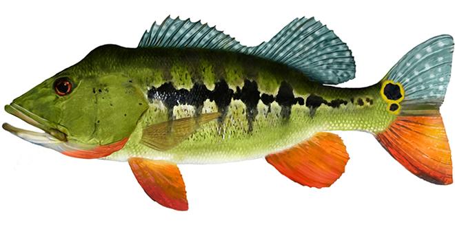 Изображение рыбы павлиний окунь королевский