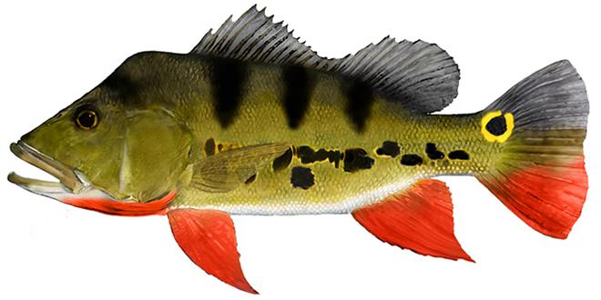 Изображение рыбы Павлиний окунь-попока