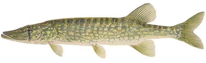 Изображение рыбы Щука чёрная