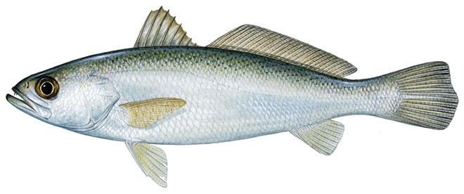 Изображение рыбы Горбыль судачий серебристый