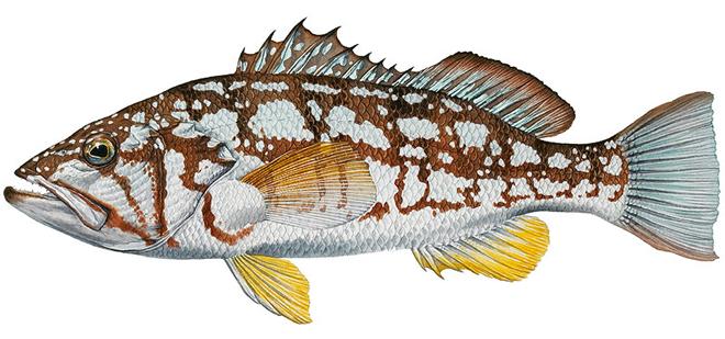 Изображение рыбы Калико басс