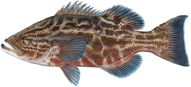 Изображение рыбы Группер чёрный