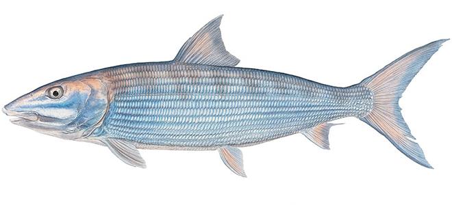 Изображение рыбы Албула