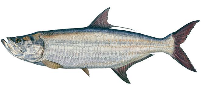 Изображение рыбы Тарпон атлантический