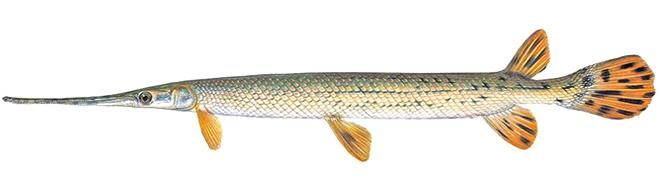 Изображение рыбы Панцирная щука длиннорылая