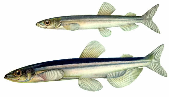 Рыба Мойва изображение