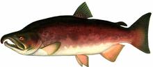 Изображение рыбы Кижуч