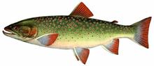 Изображение рыбы Мальма