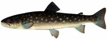 Изображение рыбы Кунджа