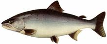 Изображение рыбы Сима