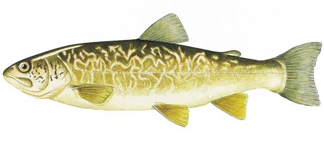 Изображение рыбы Форель мраморная