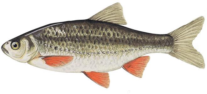 Изображение рыбы Плотва красная