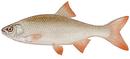 Изображение рыбы Плотва дунайская