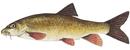 Изображение рыбы Усач южный