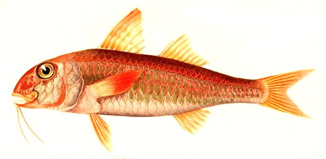 Изображение рыбы Барабуля