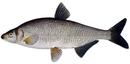 Изображение рыбы Рыбец