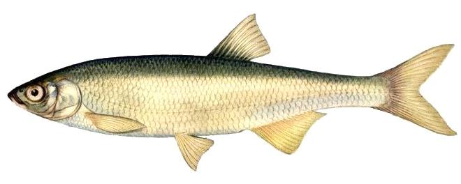 Изображение рыбы Шемая азово-черноморская