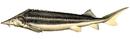Изображение рыбы Шип
