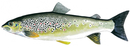 Изображение рыбы Форель адриатическая