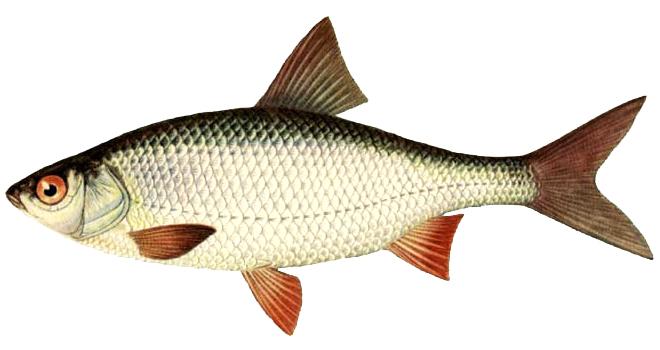 Изображение рыбы Плотва сибирская