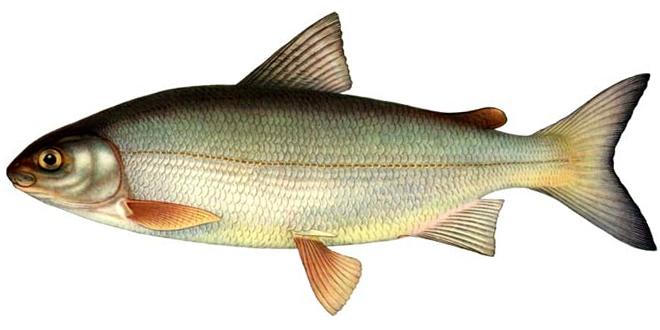 Изображение рыбы Сиг-пыжьян