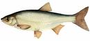 Изображение рыбы Елец сибирский
