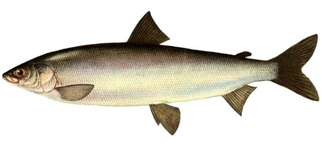 Изображение рыбы Омуль арктический