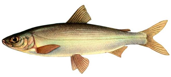 Изображение рыбы Омуль байкальский