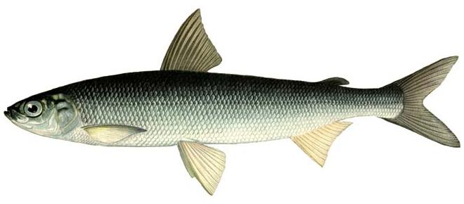 Изображение рыбы Ряпушка сибирская