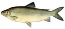 Изображение рыбы Чир