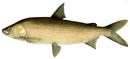Изображение рыбы Сиг амурский