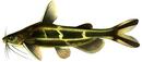 Изображение рыбы Косатка-скрипун