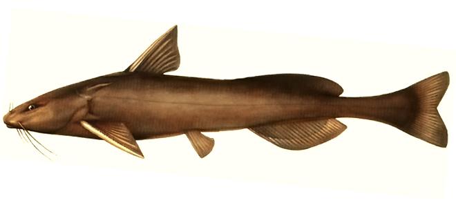 Изображение рыбы Косатка-плеть