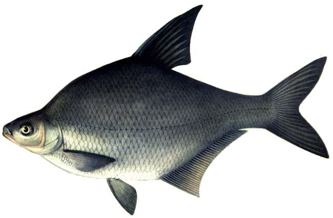 Изображение рыбы Лещ амурский чёрный
