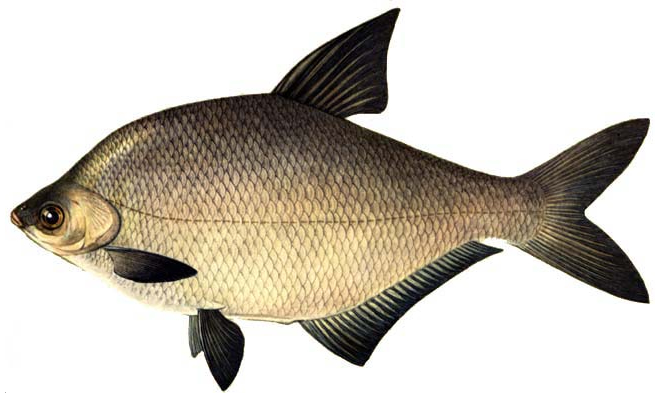 Изображение рыбы Лещ амурский белый
