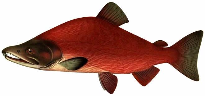 Рыба Нерка изображение