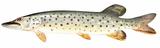 Изображение рыбы Щука амурская