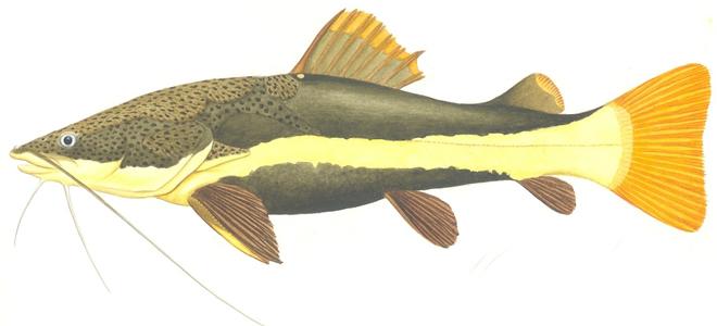 Изображение рыбы Сом краснохвостый