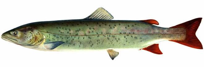 Изображение рыбы Таймень