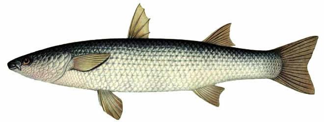 Рыба Пиленгас изображение