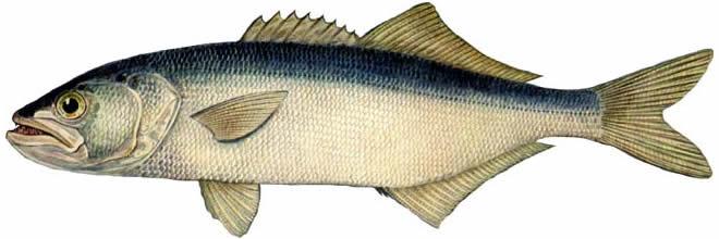 Рыба Луфарь изображение