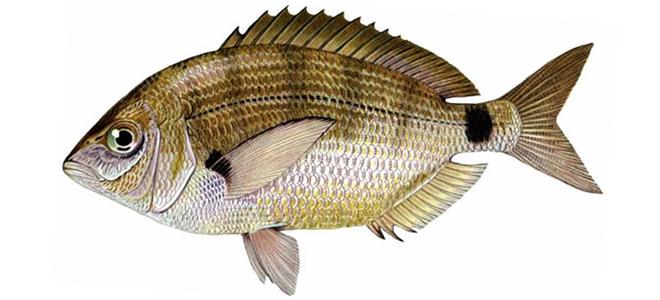 Изображение рыбы Морской карась-ласкирь