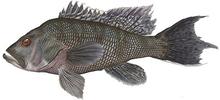 Изображение рыбы Лаврак