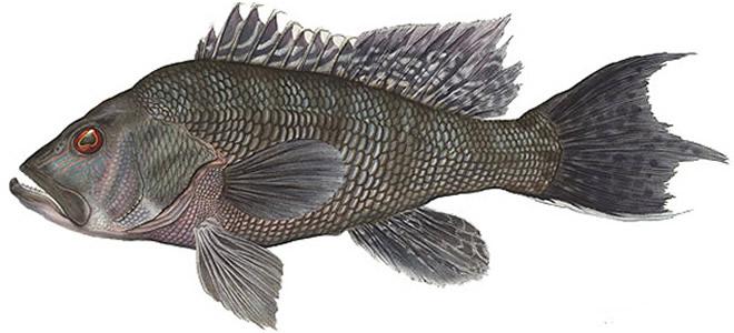 Рыба лаврак